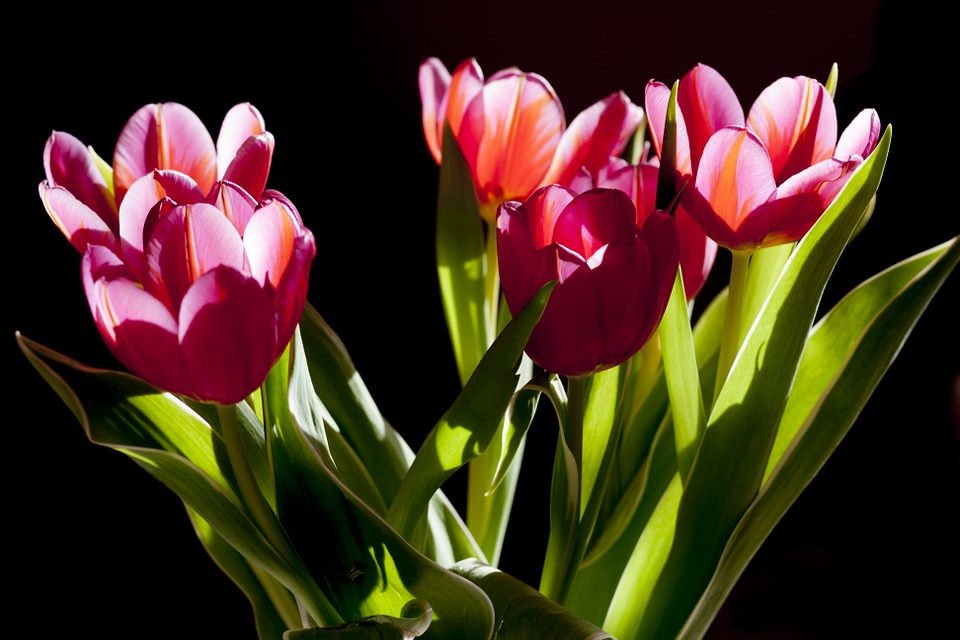 Several pink tulips with green foilage on a black background.