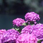 蒲郡市あじさいの里で、紫陽花の撮影(写真編)