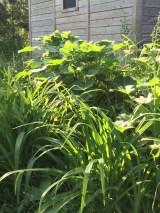 """Looking a bit wild, the lower day lily garden promises a wonderful show in a few weeks. The """"big"""" plant is a happy hollyhock."""
