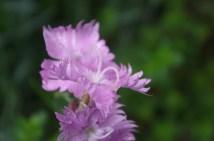 a clove pink up close - love the stamen