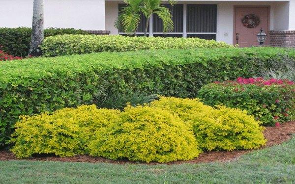 gold mound duranta shrub