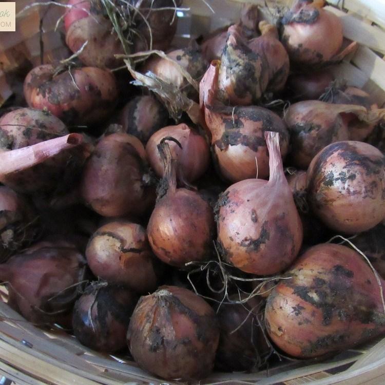Basket of Shallots