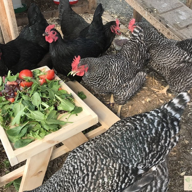 Chickens at chick-nic table