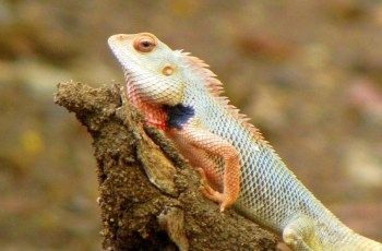 Pet Breeeders: Oriental Garden Lizard For Sale throughout Oriental Garden Lizard For Sale