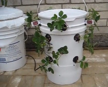 The infamous recycled 5-gallon bucket becomes a homemade self irrigating planter.