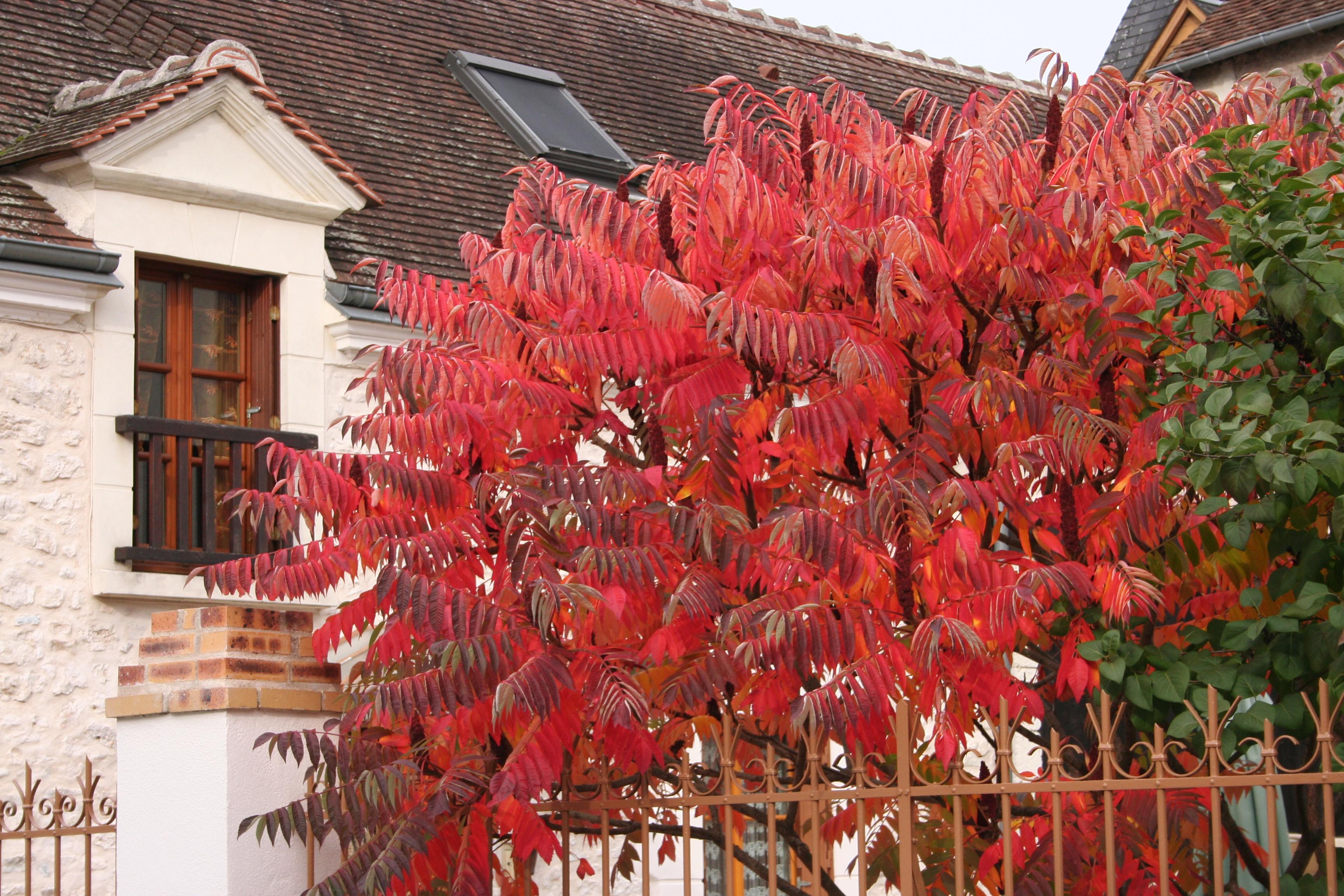 Rhus showing autumn colour in a Chabris garden