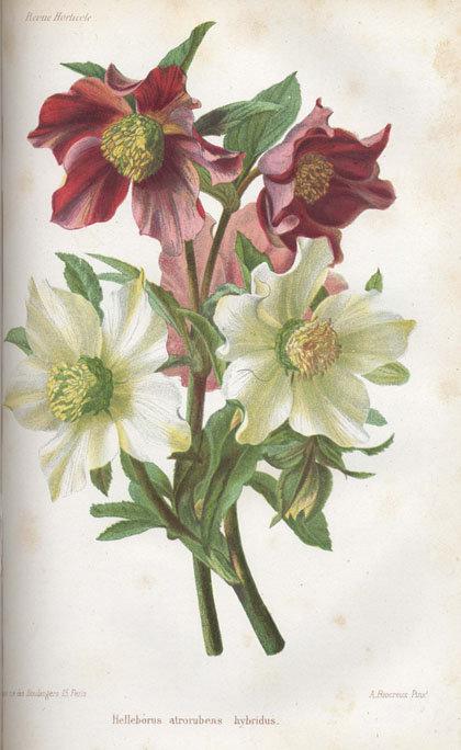 1865-helleborus-atrorubens-hybridus