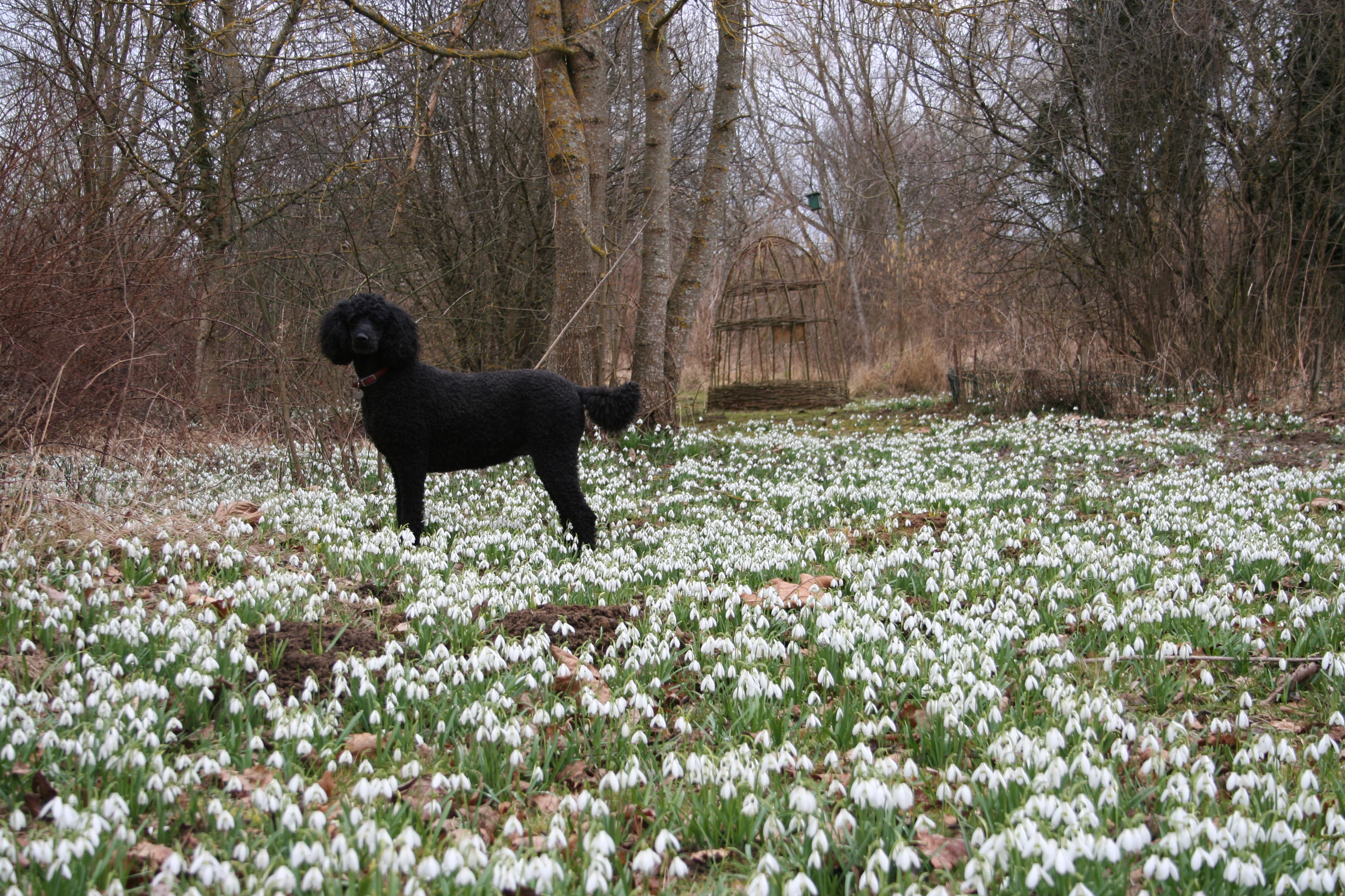Poodle posing in the Snow drops - the old mill at Chabris