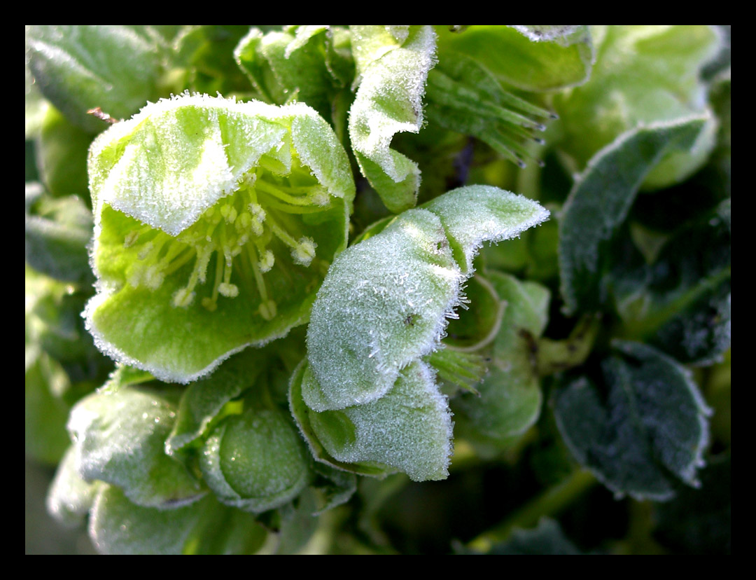 Frosted Hellebore