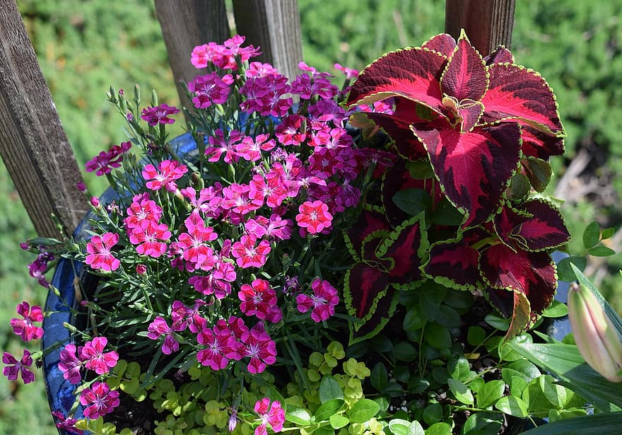 bright-flowers-coleus-carnation-flower-blossom-bloom-plant-perennial-bright