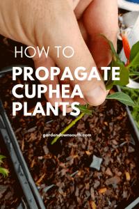propagate cuphea