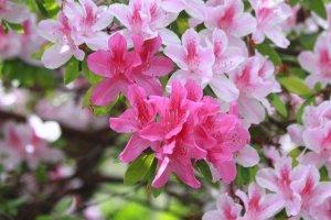 azalea,easy to grow perennial