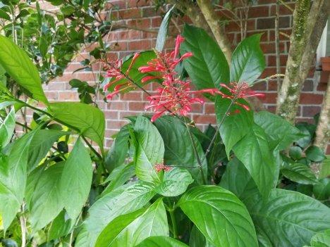 firespike, unusual perennials