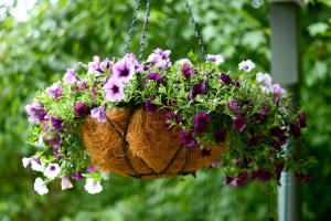 How to Keep Petunias Beautiful in a Hanging Basket