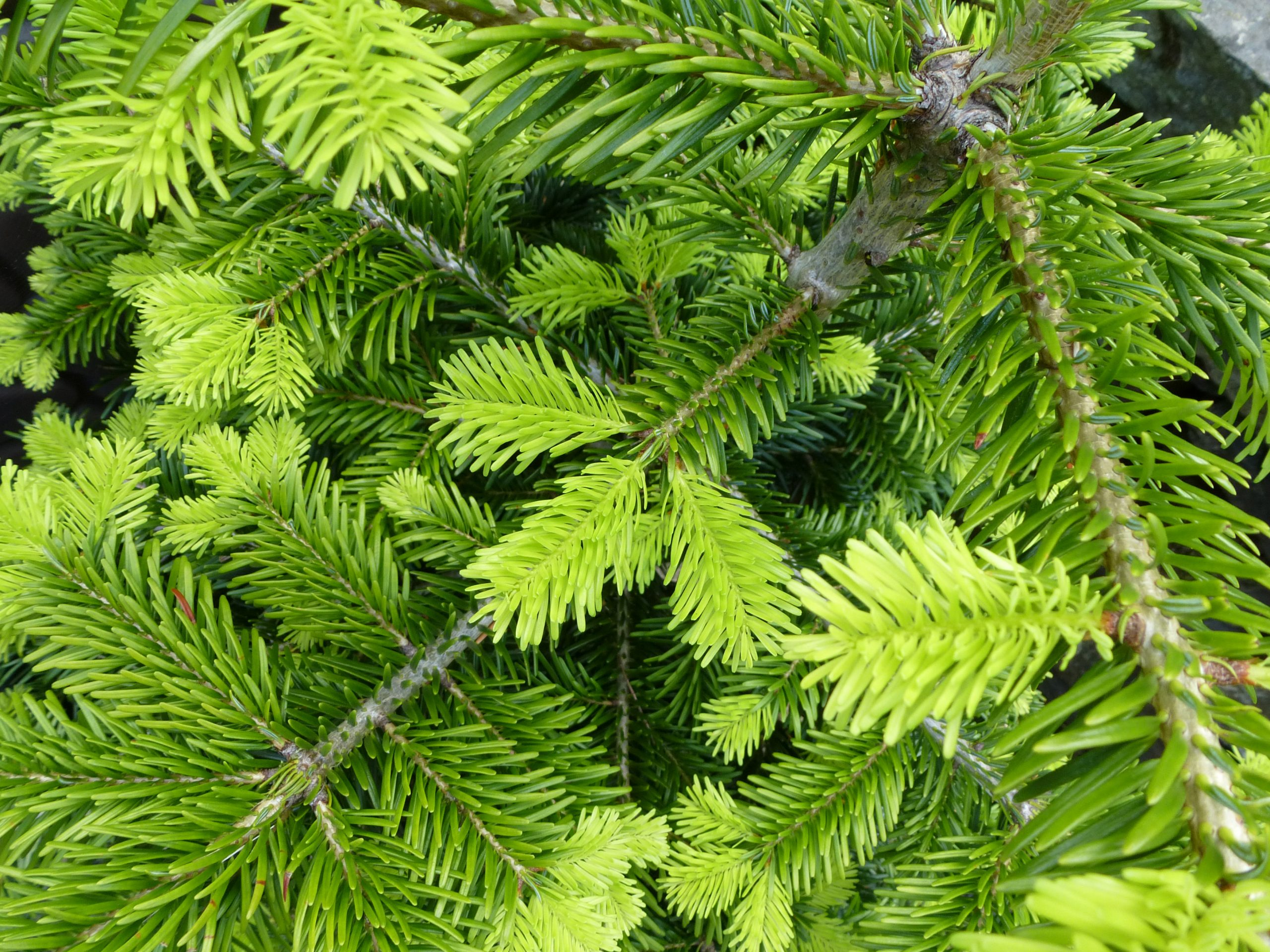 10 Fast Growing Evergreen Trees for Privacy