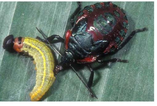 Predatory Stink Bugs?!