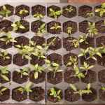 10 Best Tomato Seed Starting Tips
