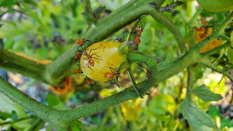 How to Get Rid of Leaf Footed Bugs