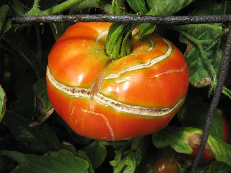 What Causes Tomatoes to Split?