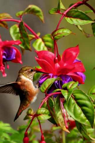 flowers to attract hummingbirds