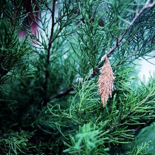 bagworm in cedar tree