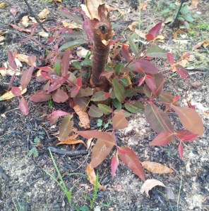 A eucalypt sprouts from the base after fire - a similar effect can be achieved with pruning
