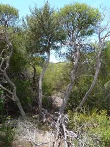 East coast banksia scrub