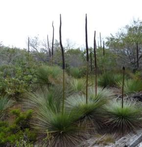 Grass trees at North Head Sanctuary