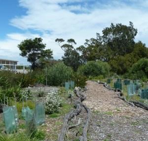 Replanting at North Head Sanctuary