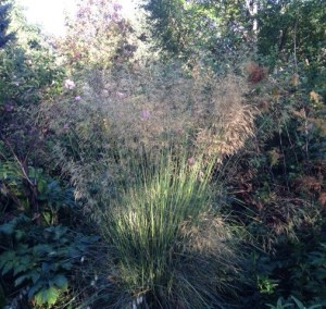 Stipa gigantea, my favourite summer grass