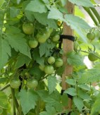 A good crop of 'Sweet Bite' tomatoes