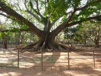 Huge, spreading buttress trunk of the white silk cotton tree, Ceiba pentandra