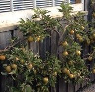 Espaliered apple 'Egremont Russet', which tastes of aniseed