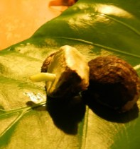 Two bulbils of Crinum asiaticum. Note the brown skin formed on the outside. This bulbil had two parts, and the first root can be seen emerging from the one on the left.