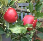 Beautiful, rich-red apples on 'Opalescent'
