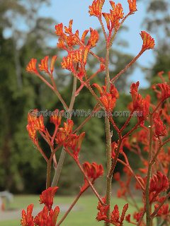 Kangaroo paw Anigozanthos 'Bush Revolution' has vivid orange flowers