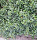 Small-leafed ivy is a favourite groundcover - but watch it like a hawk