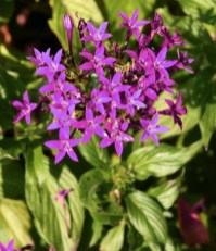 Purple pentas - one of the lower growing forms