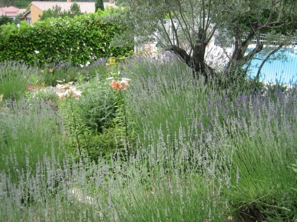 The olive forms a backdrop for soft cottage garden planting
