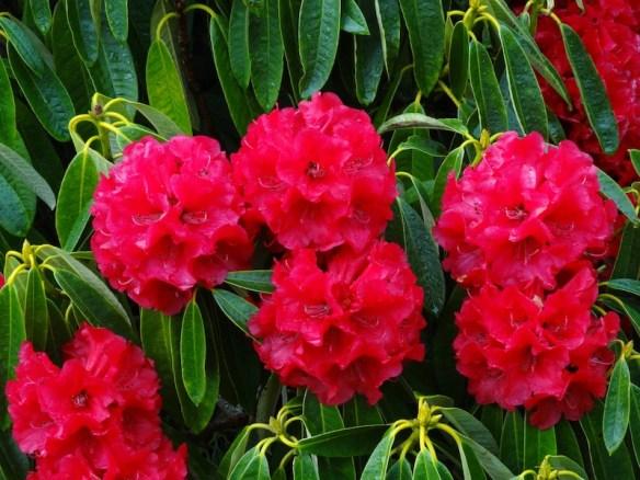 Rhododendron 'Robert Keiller'