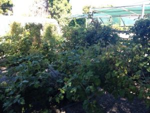 Wychwood 's loganberry and boysenberry patch