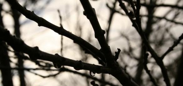 ash tree in winter