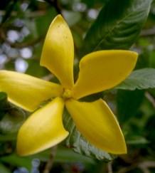 Gardenia carinata has large golden flowers