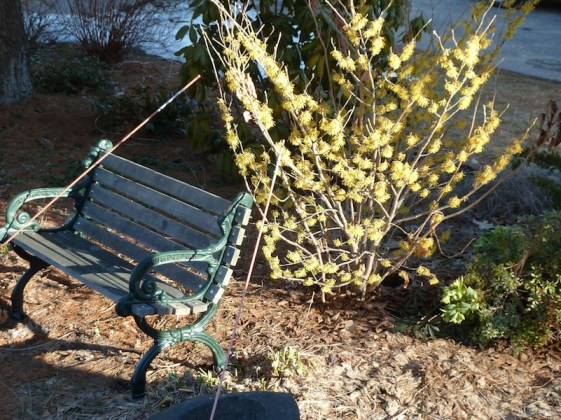 Witch-hazel without snow!