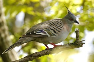 Crested pigeon Photo Lip Kee