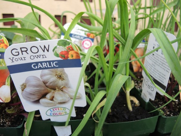 You can buy pots of garlic