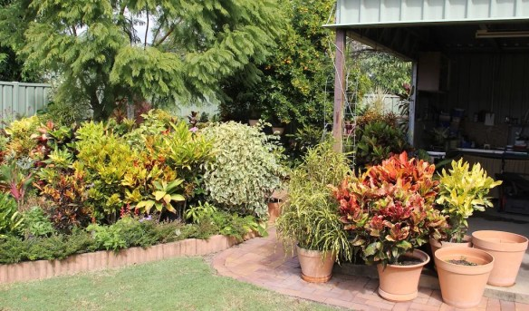 Crotons grow in pots and the garden