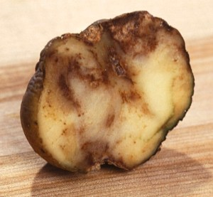 Phytophthora infestans effects on potato. USA Dept Agriculture