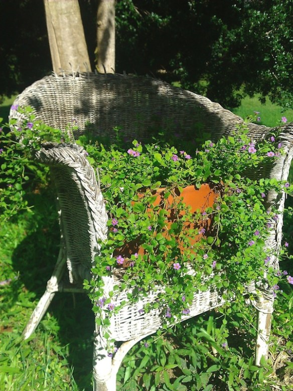 My old 'flowering' chair with tumbling sutera