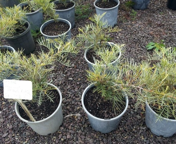 Pots of grafted Grevillea 'Amber Blaze'
